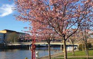 Aurajoki ja kirsikkapuut